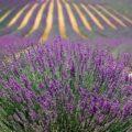 AgroPublic | levanta kalliergeia