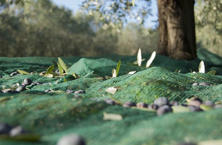 AgroPublic | olive harvest 1798352 1280